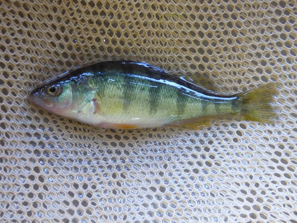 Game fish wisconsin indiana illinois iowa pennsylvania for Farm pond fish